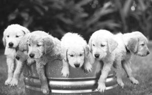 Header-Golden-Retrievers-in-Bucket