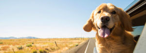 Header-Golden-Retriever-in-Car